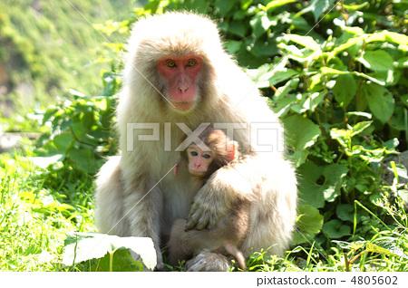 원숭이의 친자 4805602