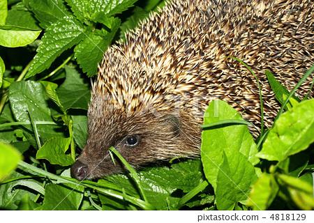 Hedgehog. 4818129