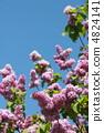 lilac 4824141
