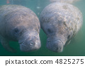 A good friend manatee 4825275