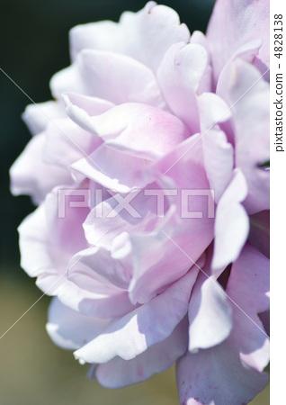 戴高乐的玫瑰 4828138