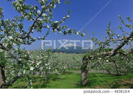 5 월 사과 꽃과 이와키 산 4838164