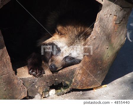 Racoon Dog (Nyctereutes procyonoides) portrait 4855440