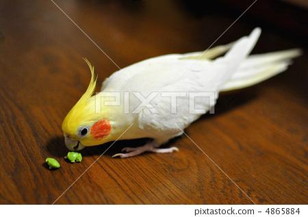 鸚鵡吃最喜歡的毛豆 4865884