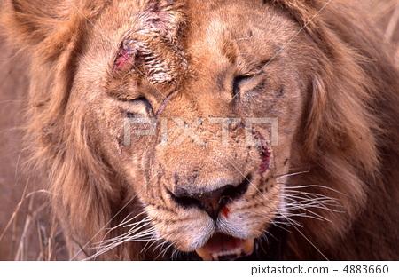 상처 투성이의 수컷 사자의 얼굴 업 4883660