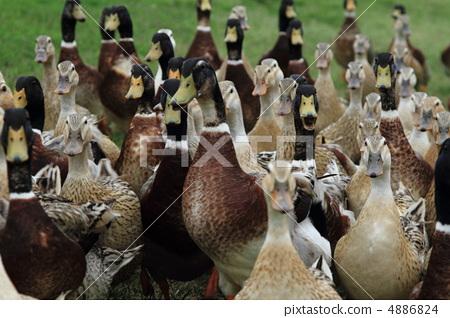 duck 4886824