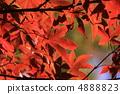 Maple of Oyama 4888823