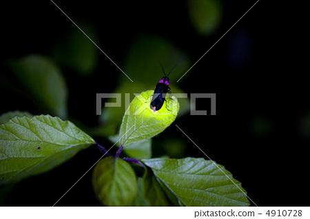 日本萤火虫 日本的萤火虫 萤火虫 4910728