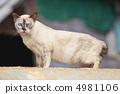 สยาม,วิเชียรมาศ,สัตว์ 4981106