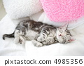 美国短毛猫 小猫 猫咪 4985356