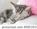 美国短毛猫 小猫 猫咪 4985363
