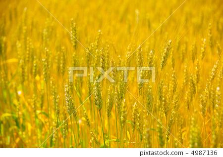 Wheat field 4987136