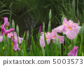 꽃 창포 5003573