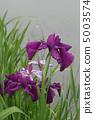 꽃 창포 5003574