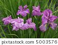 꽃 창포 5003576