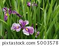 꽃 창포 5003578