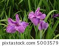 꽃 창포 5003579