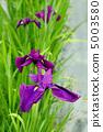 꽃 창포 5003580