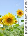 ดอกทานตะวัน 5014467