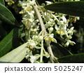 橄榄白花,不能自花授粉 5025247