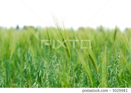 Wheat field in Canada Markham, Ontario, Canada 5029981