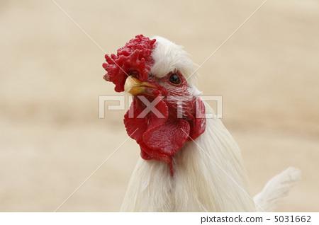 Chicken chicken 5031662
