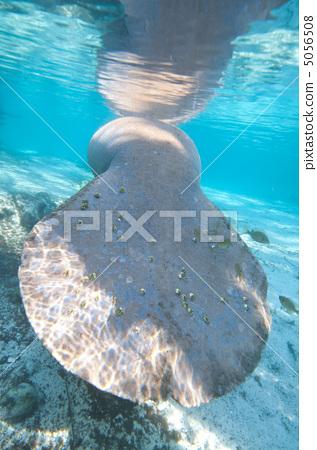 Manatee's tail 5056508