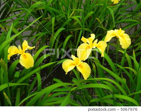 虹膜(黃色) 5067976