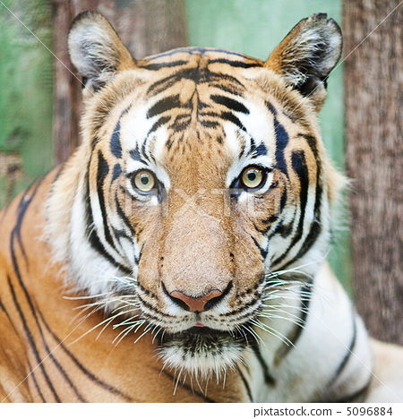 beautiful big tiger in a zoo 5096884