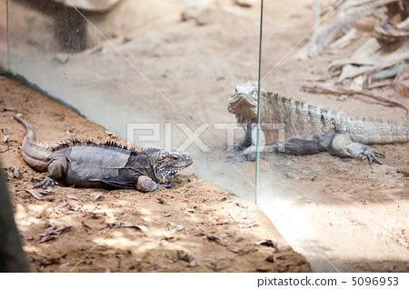 big lizard dragon at the zoo 5096953