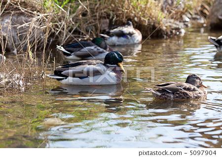 gray ducks in the water 5097904
