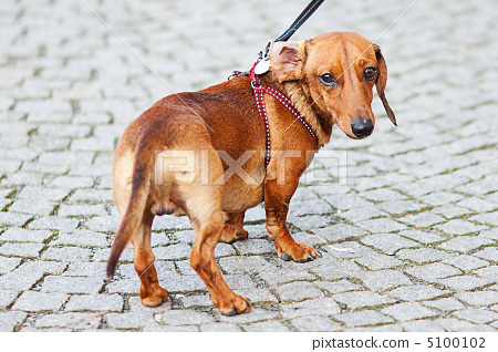 small dog dachshund against the paving stones 5100102