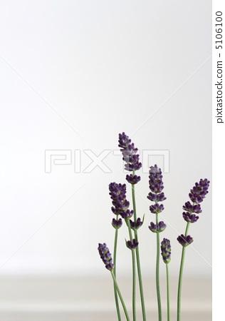 lavender 5106100