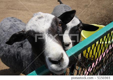Goat 5150365