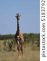 野生长颈鹿 5183792