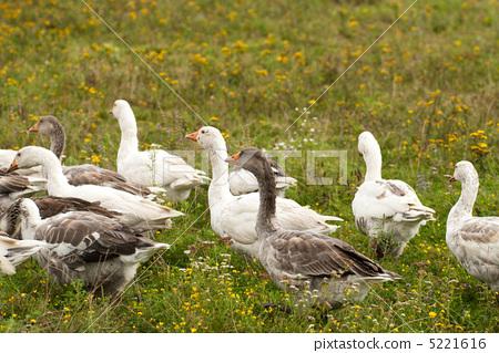 Gooses 5221616