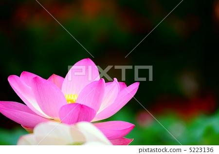 lotus 5223136