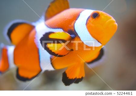Clown anemonefish 5224461