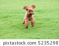 跑與船塢奔跑的玩具獅子狗 5235298