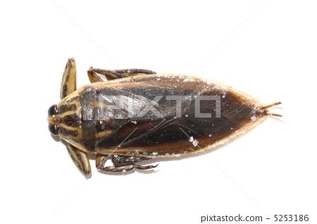물장군 식용 곤충 타이 5253186