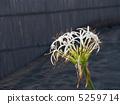 ดอกไม้ของ Hamayu 5259714