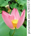 Lotus flower Oga lotus (flower language) flower language: innocent heart Lotus Flower 5283273