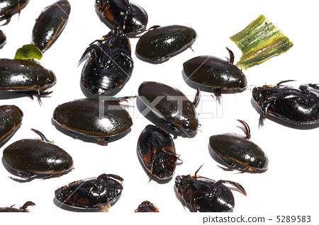 물방개 식용 곤충 타이 5289583