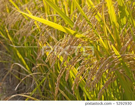 Rice 5292930