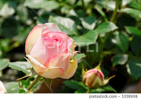 밝은 분홍색 장미 피에르 드 롱 사르 5338908