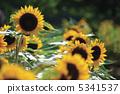 向日葵 花朵 花卉 5341537
