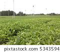 tea plantations, tea plantation, tea field 5343594