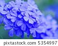 白花丹屬 藍雪花 藍色石墨 5354997