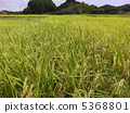 rice field, rice crop, rice cultivation 5368801