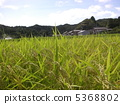 rice crop, rice cultivation, rice field 5368802